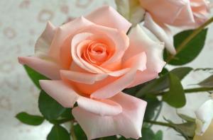 rose-482721_1280