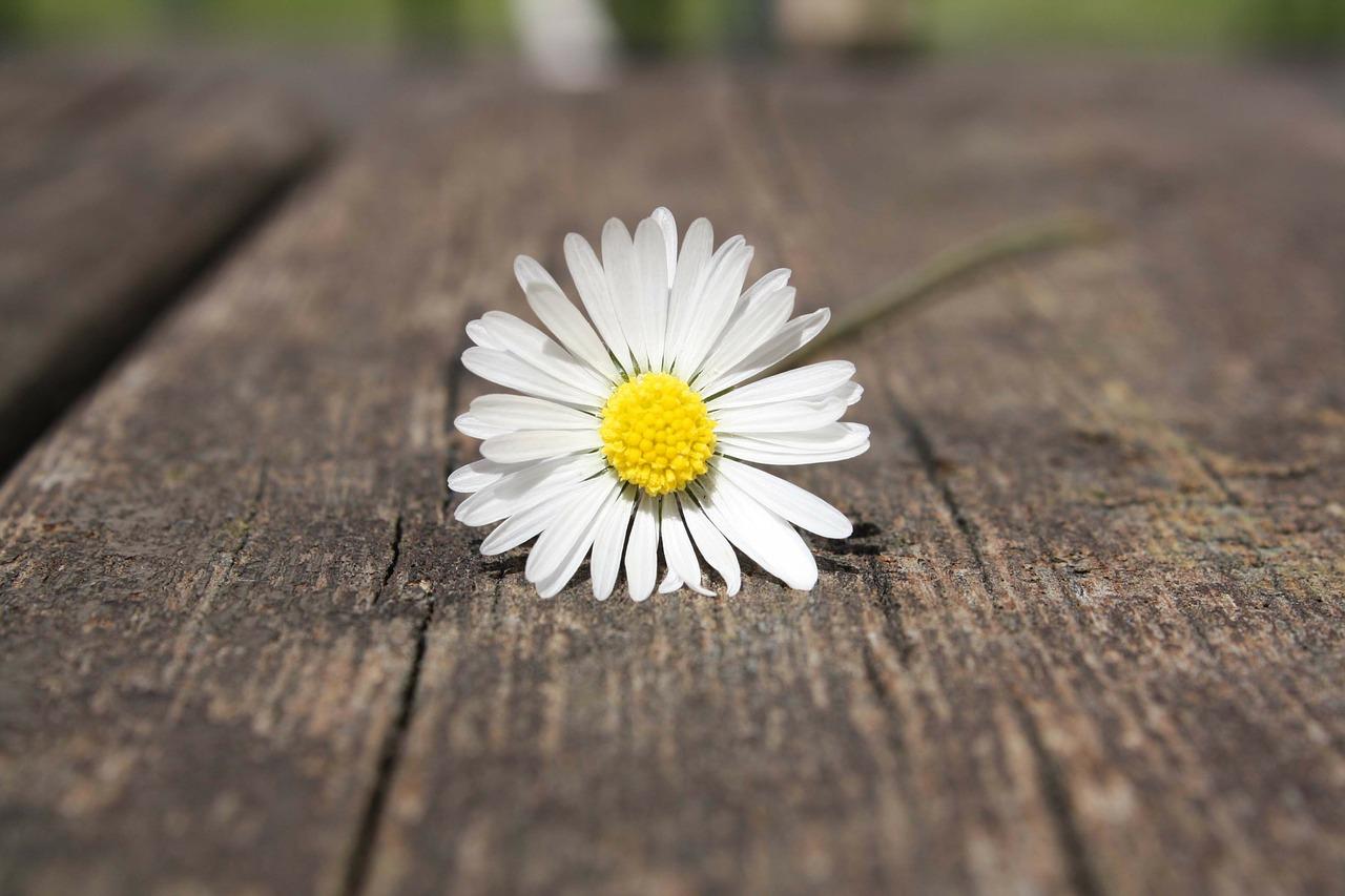 daisy-75191_1280